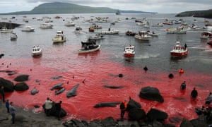 'Suspicious islanders tend to smash cameras' … pilot whales being herded and slaughtered.