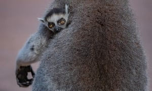 One of the twin baby lemurs peeking from beneath its mother's arm