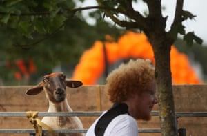 A freshly sheared sheep looks on
