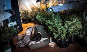 Man sleeping in cannabis farm.