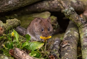 A vole with its nose in a buttercup