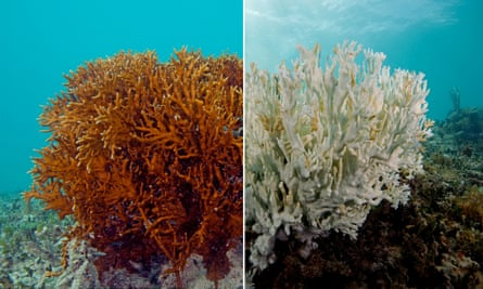 A healthy fire coral in Bermuda, left, and a bleached one.