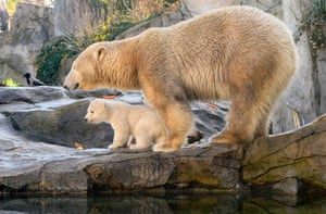 Vienna, Austria. A polar bear cub walks with its mother, Nora, during its first public appearance at Schönbrunn zoo. The still unnamed cub was born in November