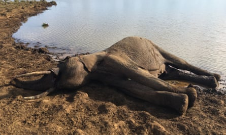 An elephant carcase found at a Laikipia waterhole. The elephant had been shot.