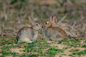 Two rabbits preen each other next to their warren, near Newbury in the UK, at sunrise