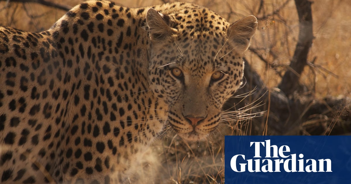 Leopards have lost 75 of their historical habitatMls