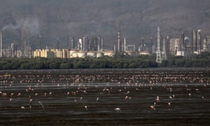 Flamingos eat plankton in front of an industrial area at Sewri mudflats, Mumbai.