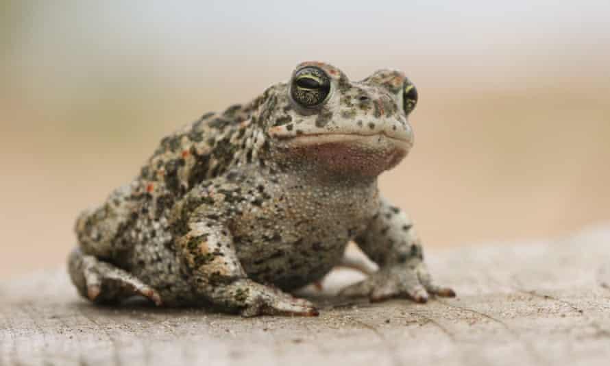 A natterjack toad.