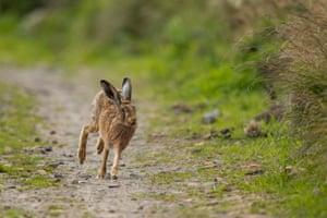 Hare running along a dirt trail