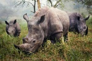 White rhinos at the Ziwa Rhino Sanctuary in Uganda