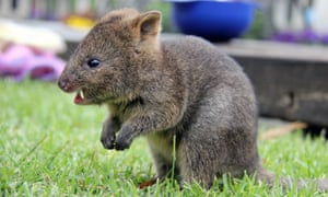 A six month old Quokka ... cute, but tricky for a machine to remember.