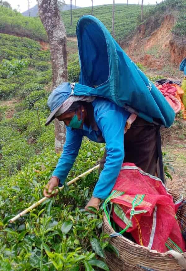 A tea plantation workers in Sri Lanka