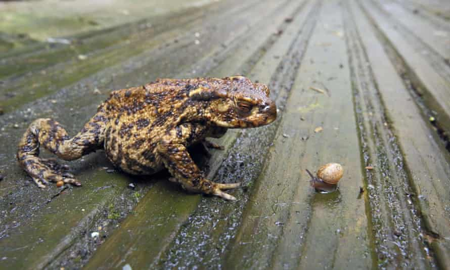 Toad and snail on wet wooden decking in garden