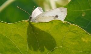 Small White on Nasturtium Leaf