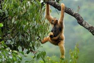 An eastern black crested gibbon dangles from a tree at the Wuliang mountain national reserve in Jingdong Yi, Yunnan, China. The population of eastern black crested gibbons rising in China