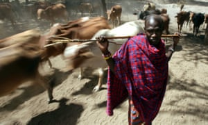 A Maasai herdsman with his cattle near Makindu, Kenya.