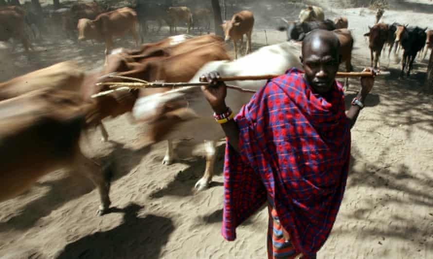 A Maasai herdsman with his cattle near Makindu, Kenya.