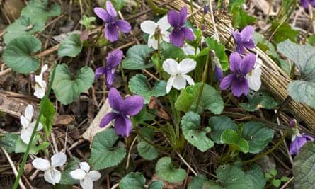 Violet and white violets