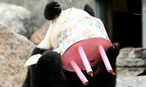 Fu Ni tucks into a cake to celebrate her first birthday at Adelaide zoo