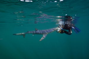 A diver with a blue shark off Penzance, Cornwall, in 2015