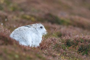 A white mountain hare in the Cairngorms, Scotland