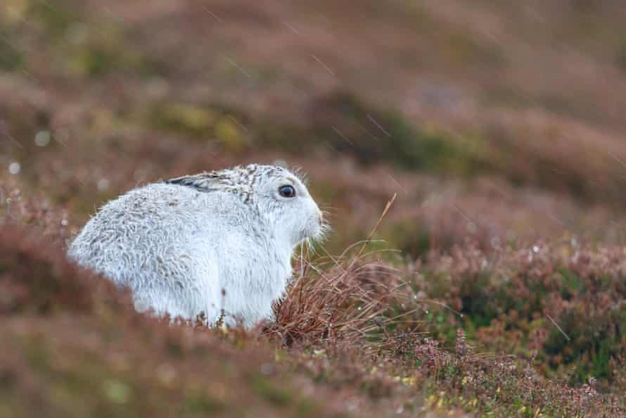 White mountain hare sitting on snow in the cairngorms of Scotland.