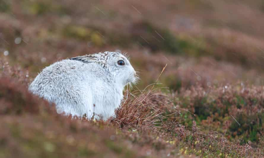 A mountain hare in the Cairngorms of Scotland.