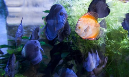 A bright orange cichlid fish among darker coloured fish