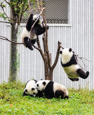 Ngawa, China Pandas have fun at the China Conservation and Research Center for Giant Panda Shenshuping Base in southwest China's Sichuan province