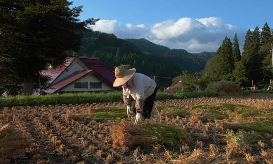 Mitsuko Sonoda's aunt harvesting rice in her village, which is outside the mandatory evacuation zone, before the disaster.