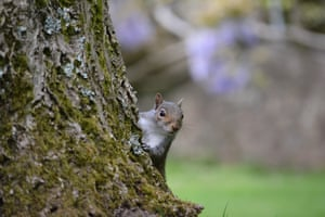 Grey Squirrel Peeking by Dylan Jenkins