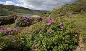 Invasive rhododendron ponticum spreading on the Isle of Mull, Scotland.