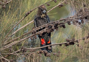 Kangaroo Island's glossy black-cockatoo were endangered before the bushfires, and conservations fear extensive areas of its critical habitat has been burned.