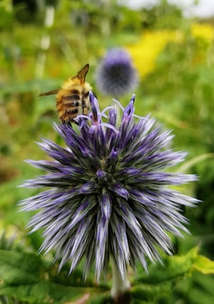 'Globe thistle - a bee magnet. Captured in Greenbank Gardens in autumn.'