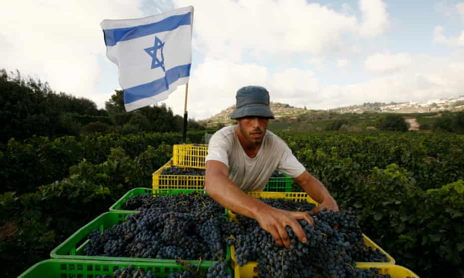 Grape harvesting at Kibbutz Tzuba, near Jerusalem.