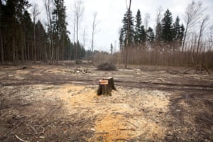 Logging in an unprotected area of the forest near to Sorocza Nóżka village. The European Commission recently expressed concern over the removal of ancient trees.