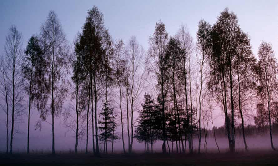 Fog clings to the ground behind a grove of tall birch trees silhouetted by evening light in Białowieża forest.
