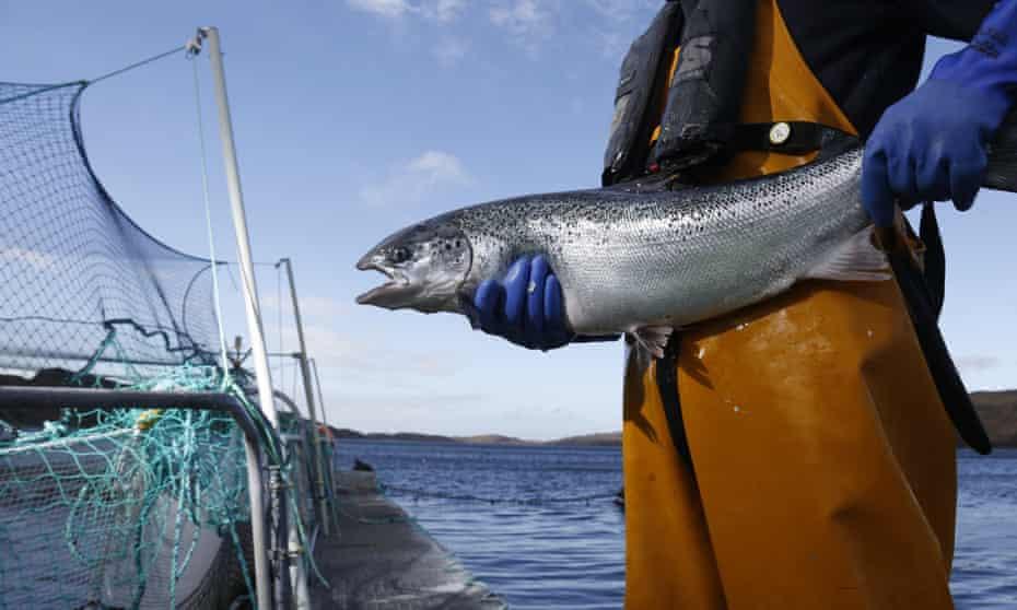 A farmed salmon at Loch Duart salmon farm near Kylesku, Scotland.