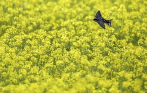 Daugendorf, GermanyA bird in search of food flies over a yellow flowering mustard field