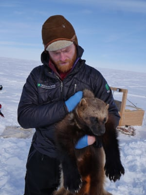 Field technician Tom Glass holding an immobilised wolverine before it is fitted with a tracking collar on Alaska's north slope