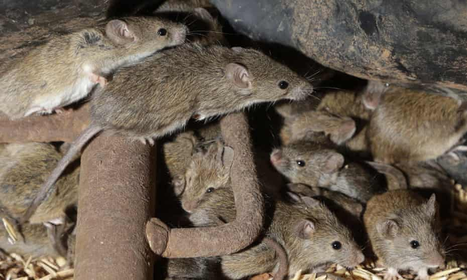 At least a dozen mice crammed together