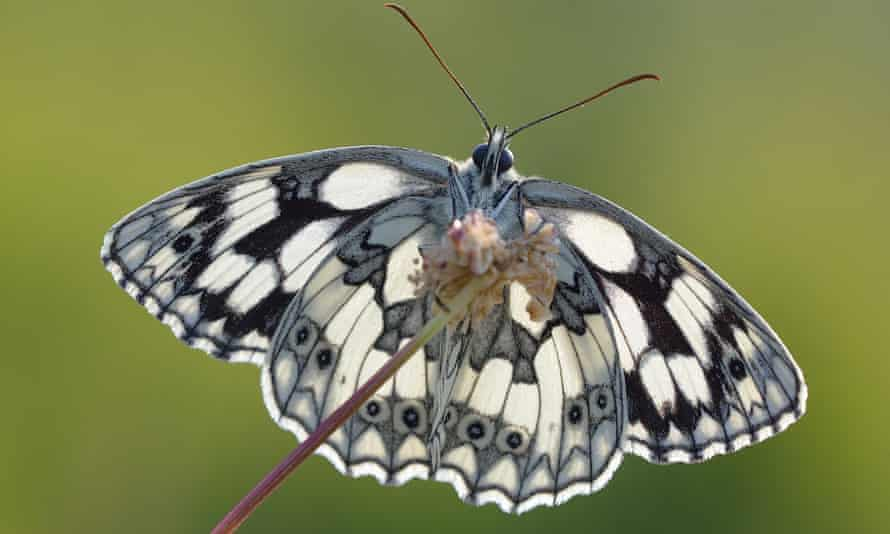 The marbled white enjoyed its best year since scientific monitoring of its numbers began in 1976.