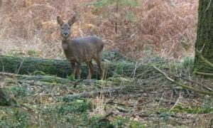 roe buck in Red Shoot Wood.