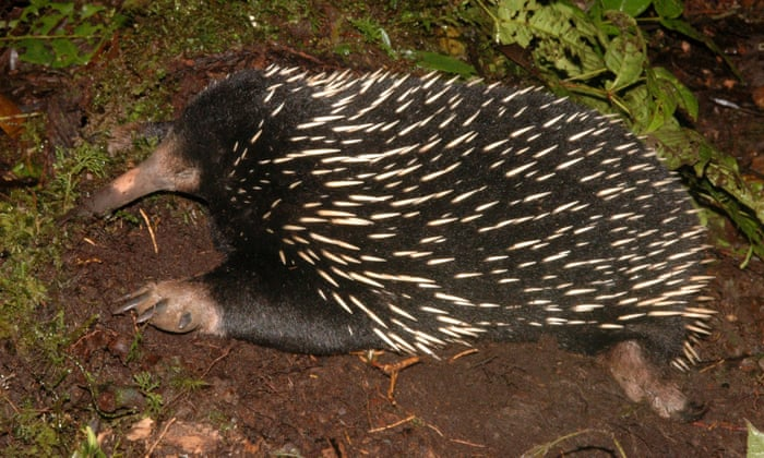 Australias Egg Laying Mammals Provide Clues To Our Earliest