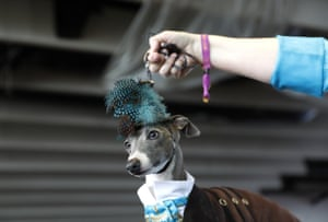 An Italian Greyhound wearing a hat waits during best in breed competitions