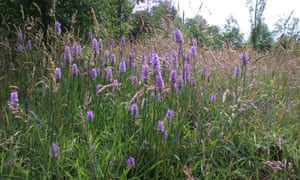 Wild orchids in Rotary Wood, within the Pinewoods forest