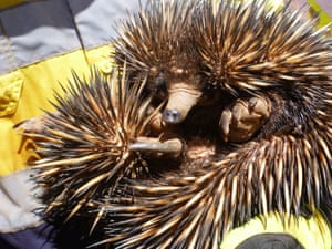 An echidna is relocated during the construction of the LNG plant.