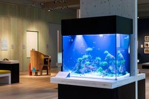 A tank of zebrafish