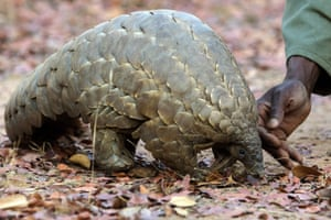 A Zimbabwe game reserve guide with Marimba, a female pangolin in care at Wild Is Life animal sanctuary outside of Harare