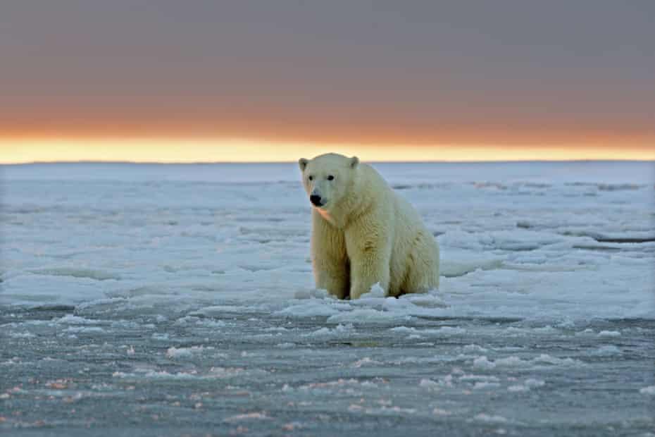 Ours polaire (Ursus maritimus)Etats Unis, Alaska, Refuge faunique national arctique, Kaktovik, ours polaire (Ursus maritimus), un sub adulte dans la glace flottante au coucher du soleil. (Photo by Sylvain CORDIER/Gamma-Rapho via Getty Images)
